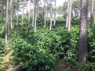 Coffee Farm Near La Campa